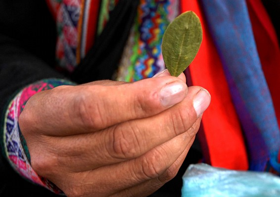 Coca leaves are grown legally in Peru, and can help with ailments from altitude sickness to menstrual pains. They are the key component of cocaine. (CC)